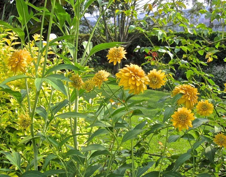 Double Rudbeckia