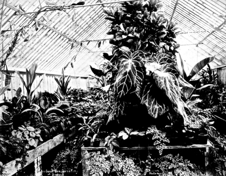 Fern-filled conservatory at Bowen Park, Brisbane, ca. 1890, by P.C. Poulsen.