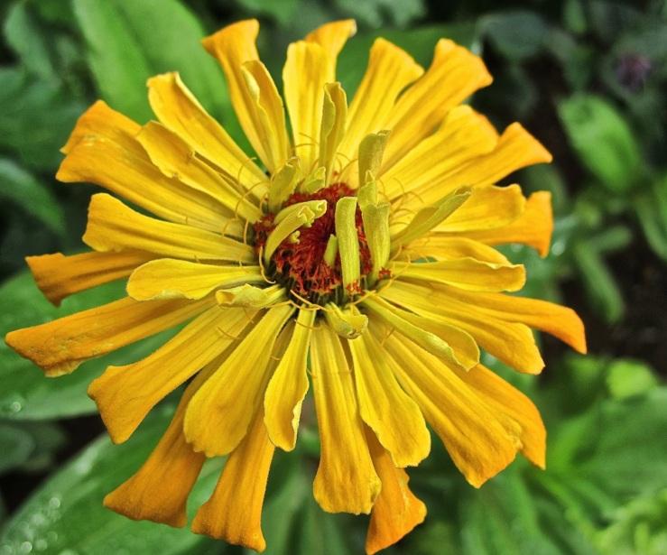 yellow zinnia, enclos*ure