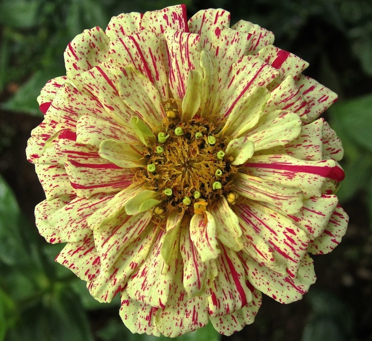 red white zinnia, enclos*ure