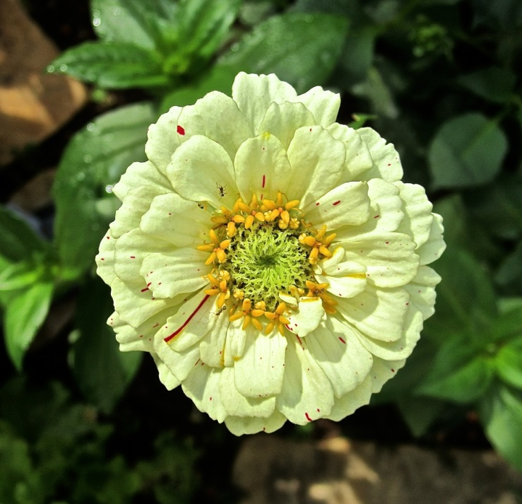Bloom Day: white zinnia at enclos*ure