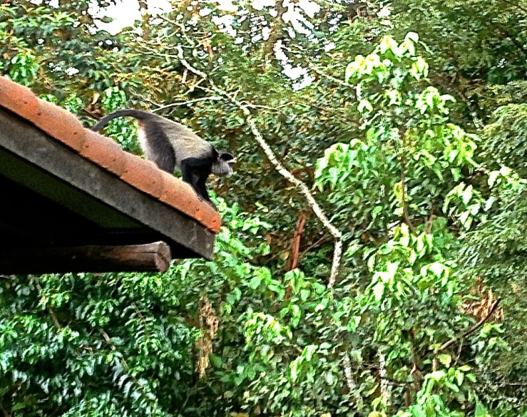 Blue monkey at Nyungwe Forest Lodge, enclos*ure