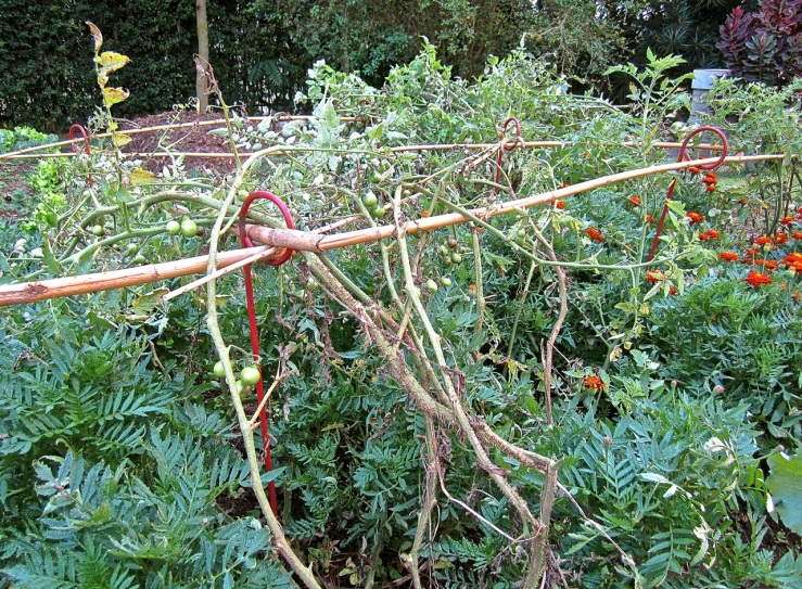 Plant supports and bamboo grid -- with my sorry looking tomatoes.