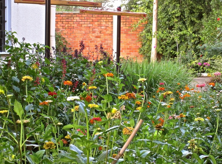 Zinnias in our cutting garden in Rwanda/enclos*ure