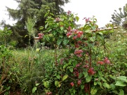 The vine Clerodendrum thomsoniae var. delectum growing on plant supports in a bed between the retaining walls.