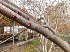 Redbud blooms.