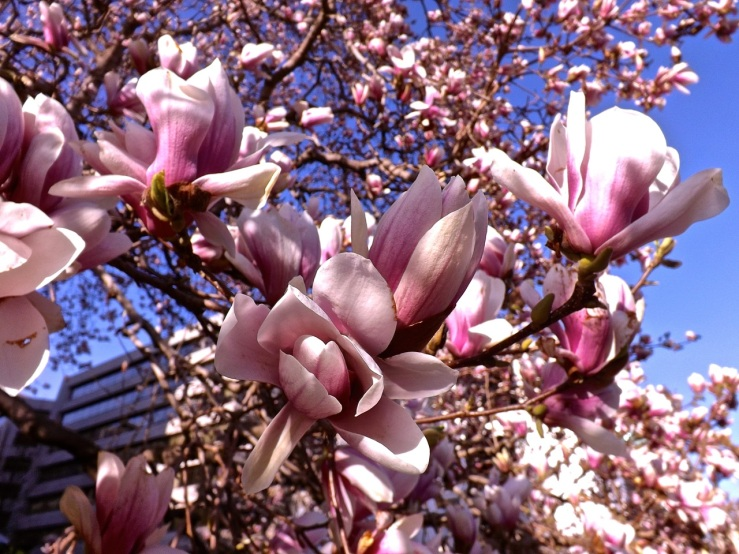 Tulip magnolia at DACOR-Bacon Hse., Wash., D.C., April 2013/enclos*ure