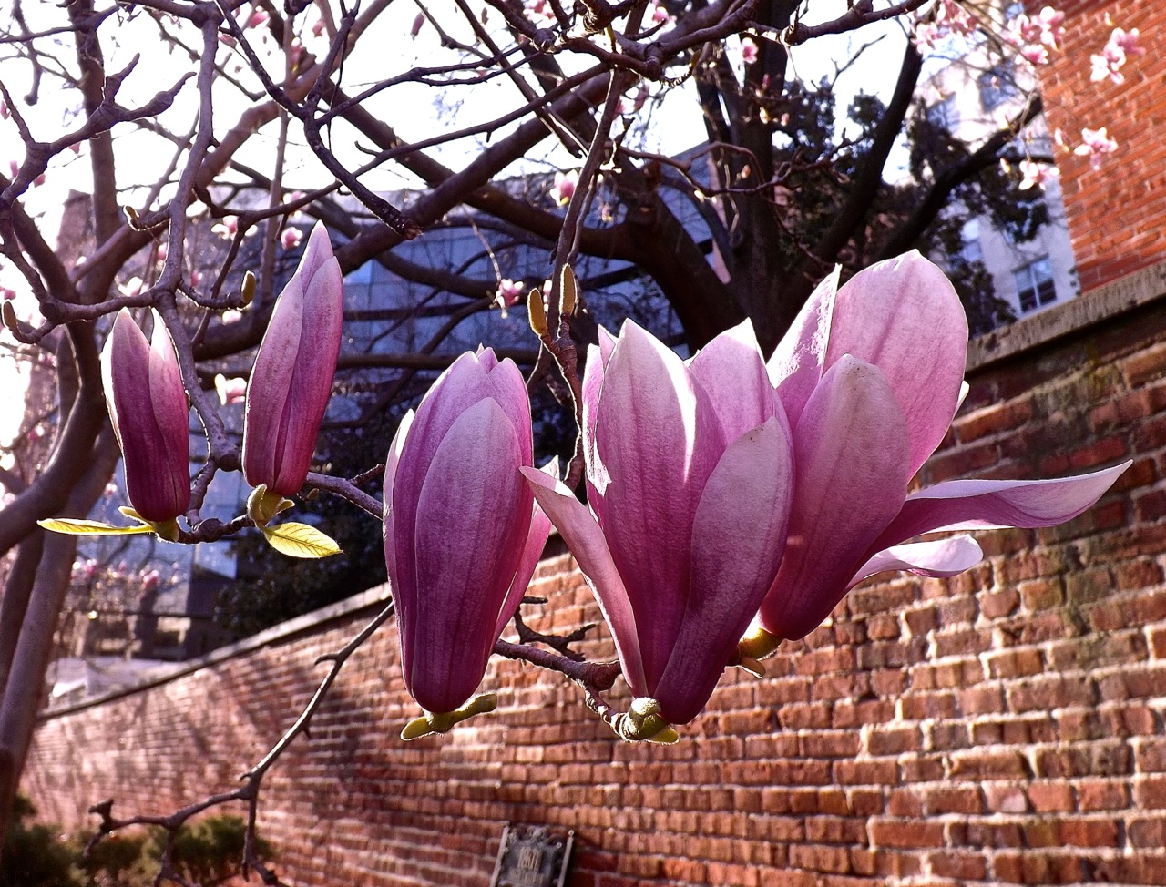 Early pink magnolias enclosure tulip magnolia mightylinksfo