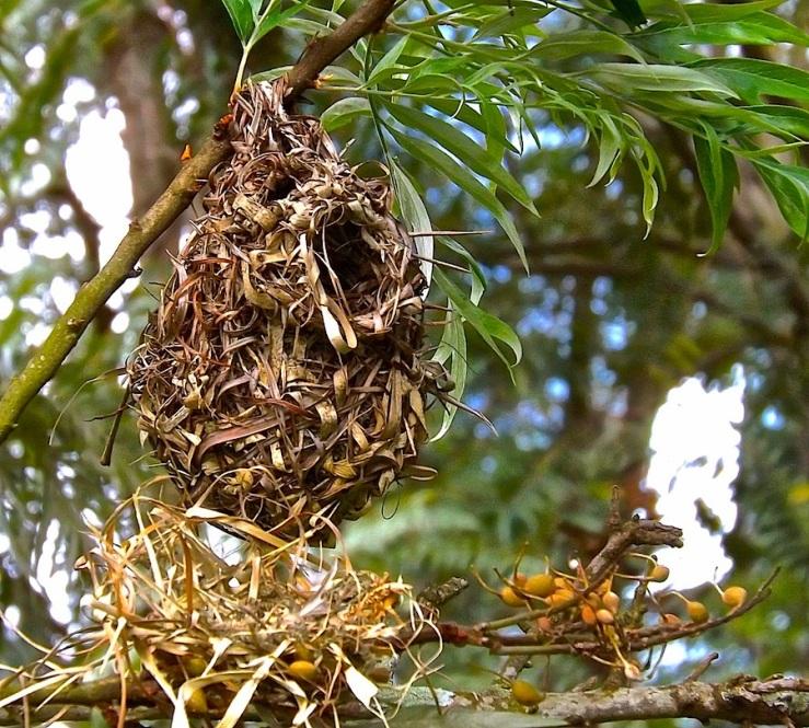 Weaver birds' nests in Rwanda/enclos*ure
