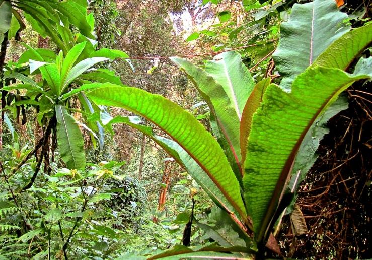 1 Giant lobilias in the Nyungwe Park, Rwanda:enclos*ure