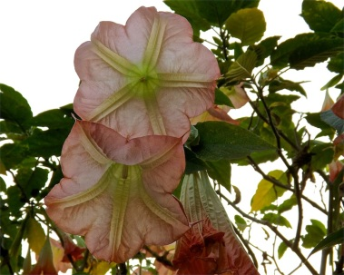 Looking up into Brugmansia or angel's trumpet