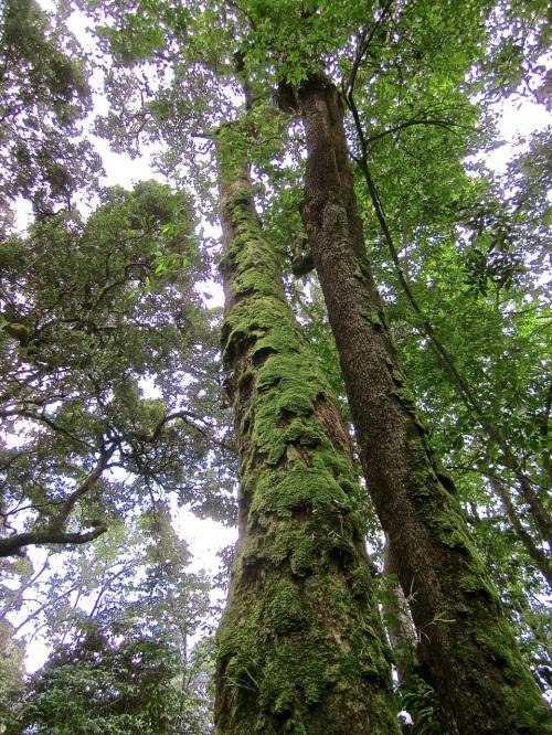 13 Moss on tall tree, Nyungwe Park, Rwanda:enclos*ure