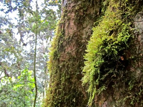 13b Moss on tree, Nyungwe Park, Rwanda:enclos*ure