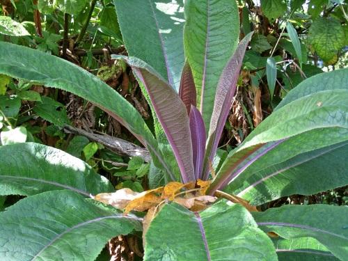 13c Giant lobelia, Nyungwe Park, Rwanda:enclos*ure