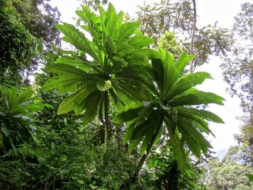13d Giant lobelias, Nyungwe Park, Rwanda:enclos*ure