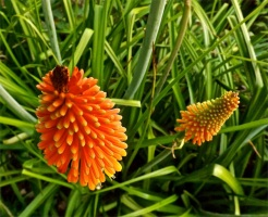 Kniphofia uvaria or red-hot poker
