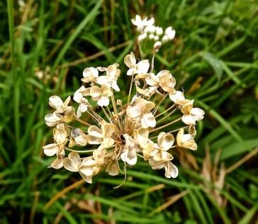 Garlic chives seedhead