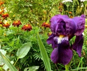 Bearded iris and marigolds