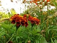 Marigolds, GBBD, enclos*ure
