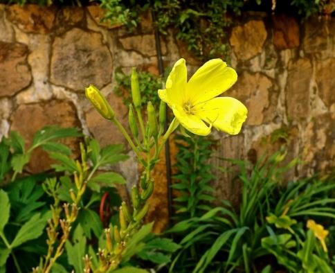 Oenothera missouriensis or Missouri primrose