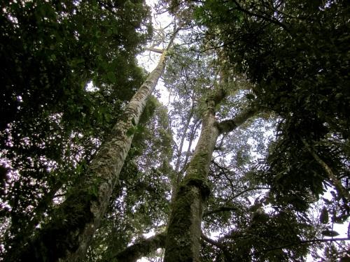 8a Parnari excelsa, Nyungwe Park:enclos*ure