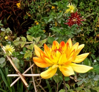 Orange and yellow dahlia