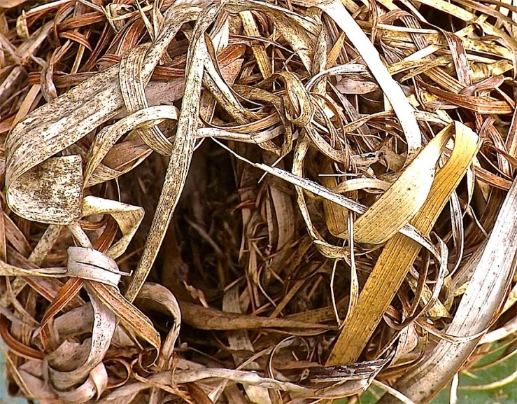 Weaver birds' nest in Rwanda/enclos*ure