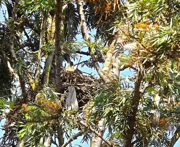 Hawks' nest in Rwanda/enclos*ure