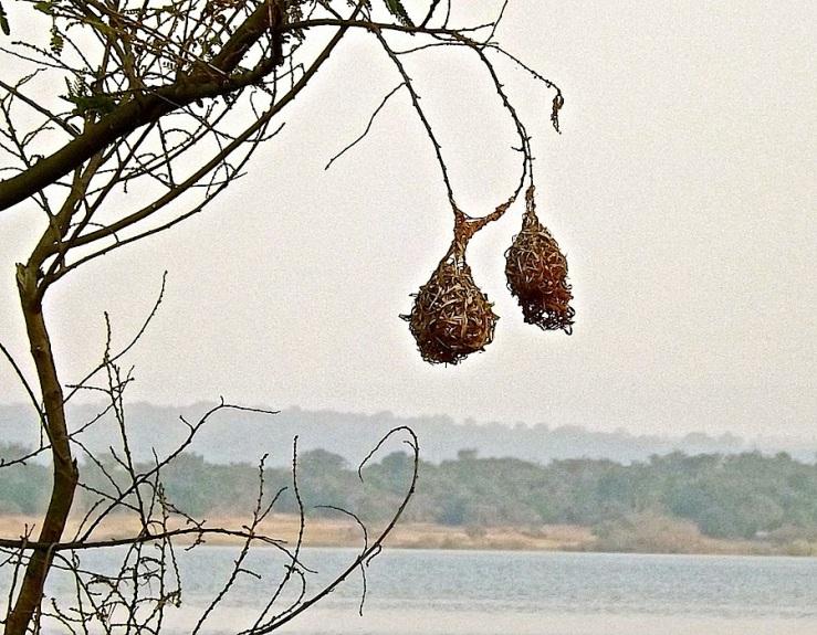 Weaver birds' nests, Ruzizi Tented Lodge, Akagera Natl. Park in Rwanda:enclos*ure