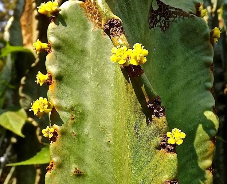 Cactus in our Kigali garden/enclos*ure