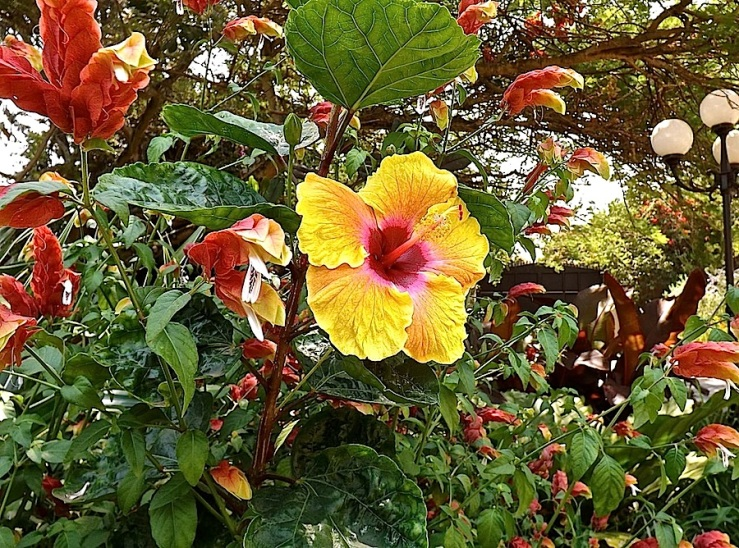 Garden Bloggers' Bloom Day in July, tropical hibiscus in our Kigali garden/enclos*ure