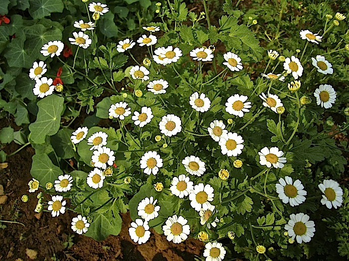 Feverfew in the vegetable garden.