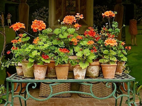 Geraniums at Hidcote Manor Garden, near Hidcote Boyce, Gloucestershire, by David Dixon.