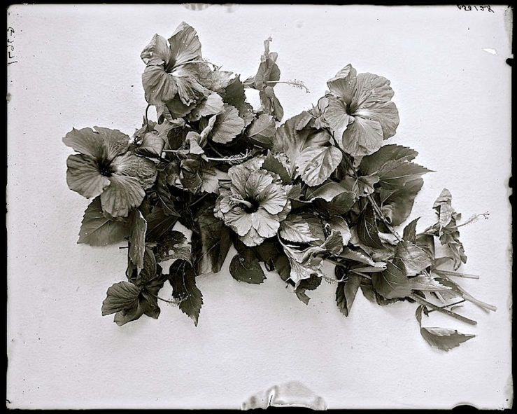 Wordless Wednesday at enclos*ure -- Hibiscus blossoms, ca. 1900-15, Detroit Publishing Co., via Library of Congress
