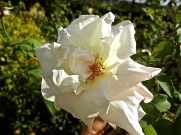 An unknown white rose -- our only scented rose.