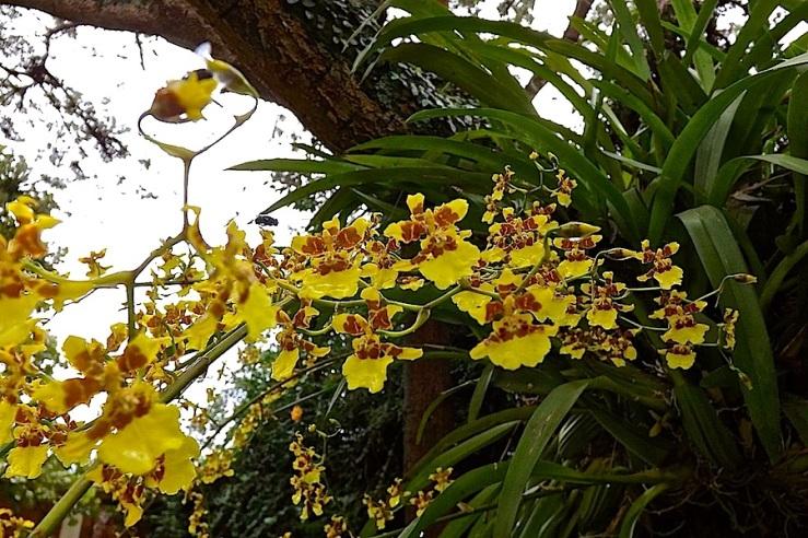 1c orchids