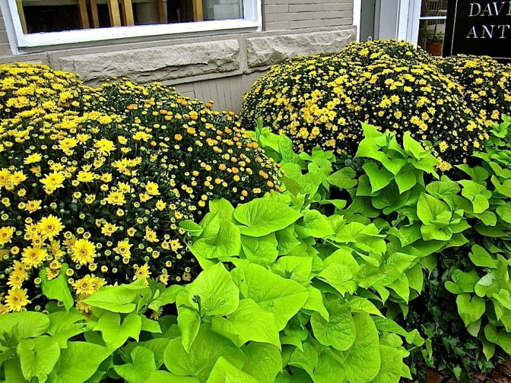 Mums and sw. potato vines:enclos*ure