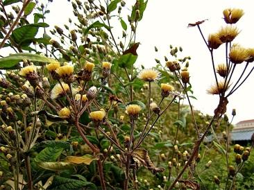 Seedheads of ironweed.