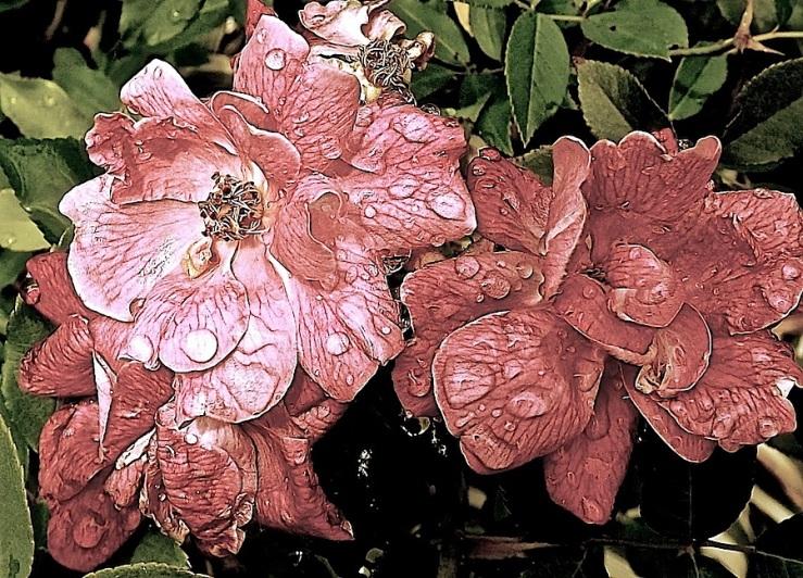 Pink rose in the rain/enclos*ure