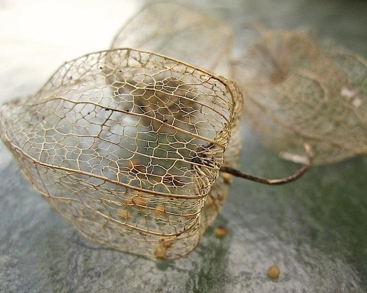 Cape gooseberry husks/enclos*ure