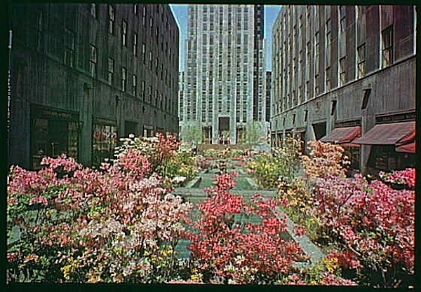 Pink azaleas in Rockefeller Center, NYC, 1945, Gottscho-Schlieisner Collection, Library of Congress:enclos*ure