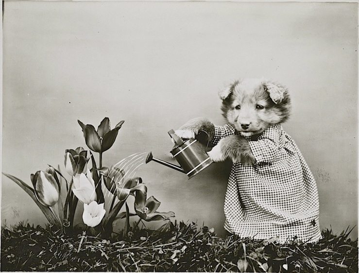 Gardening puppy, c. 1914, by Harry Whitter Frees, via Library of Congress