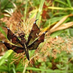Wordless Wednesday/enclos*ure: dragonfly in our garden