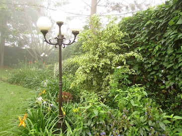11. Variegated weeping fig with Eranthemum nervosum in foreground.