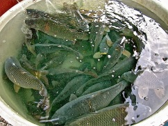 Carp is the traditional Christmas dish. They were being sold on the streets all around the city.