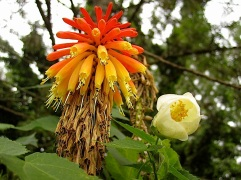 Kniphofia uvaria and a white abutilon.