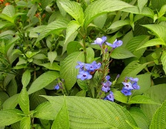 and bright blue Eranthemum nervosum.