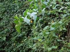 The orange buttons are Crassocephalum (vitellinum, I think), a Rwandan native.
