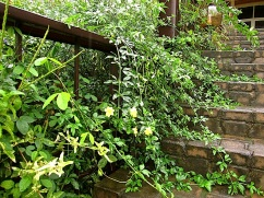 Winter jasmine (or something very like it) hangs over onto the steps.
