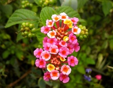 Pink-yellow Lantana camera. It's so invasive in Rwanda, but so useful in my garden. I cut the seeds off frequently.